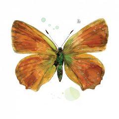 papallona oberta